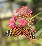 Farfalla arancio e bianca nera Fotografie Stock Libere da Diritti