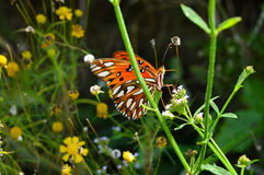 Farfalla arancio e nera luminosa Immagine Stock Libera da Diritti