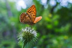 Farfalla arancio nella foresta su una pianta immagini stock