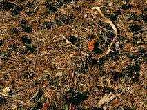 Farfalla arancio rossa su terra fra i detriti di permesso, i vermi della quercia e la paglia del pino Fotografia Stock Libera da Diritti