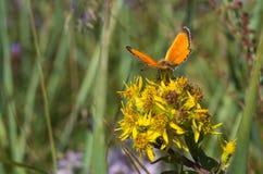 Farfalla arancio su un fiore Fotografia Stock Libera da Diritti