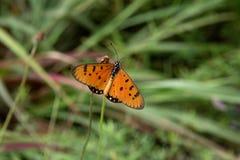 Farfalla arancio su un ramo verde Immagini Stock