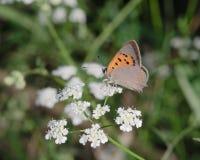 Farfalla arancio sui fiori bianchi immagini stock