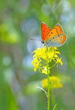 Farfalla arancio sul fiore Fotografia Stock Libera da Diritti