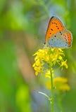Farfalla arancio sul fiore di estate Fotografia Stock Libera da Diritti