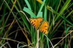 Farfalla arancio sull'erba verde fotografia stock libera da diritti