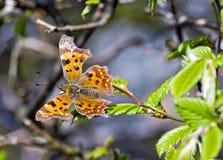 Farfalla arancione Immagini Stock