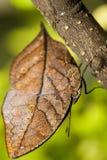 Farfalla arancione del oakleaf Immagine Stock