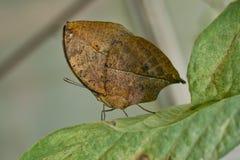 Farfalla arancione del oakleaf Fotografie Stock