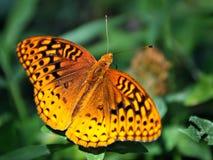 Farfalla arancione macchiata su vegetazione verde Fotografia Stock Libera da Diritti
