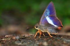 farfalla Arancione-munita del punteruolo Fotografia Stock