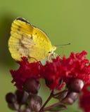 Farfalla arancione sonnolenta - nicippe di Eurema Immagini Stock