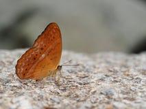 Farfalla arancione su una pietra fotografie stock