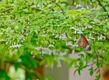 Farfalla arancione sul fiore bianco immagine stock libera da diritti