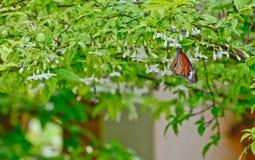 Farfalla arancione sul fiore bianco fotografia stock