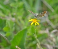 Farfalla arancione sul fiore giallo Immagini Stock Libere da Diritti