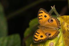 Farfalla arancione sul foglio asciutto Immagine Stock