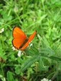 Farfalla arancione sulla pianta pelosa immagine stock