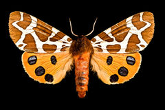 Farfalla, Arctia Caja Fotografia Stock Libera da Diritti