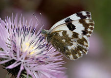 Farfalla bianca Immagini Stock Libere da Diritti