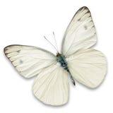 Farfalla bianca Fotografia Stock