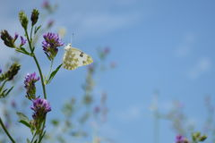 Farfalla bianca Fotografie Stock Libere da Diritti