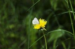 Farfalla bianca Immagine Stock Libera da Diritti