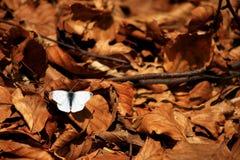 Farfalla bianca Fotografie Stock