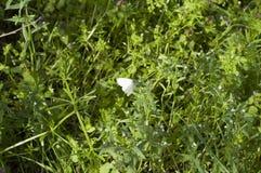 Farfalla bianca immagini stock
