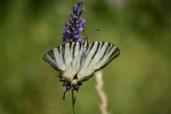 farfalla bianca Blac della farfalla su lavanda Immagine Stock