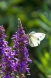 Farfalla bianca che si siede su un fiore Fotografia Stock Libera da Diritti