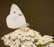 Farfalla bianca Checkered immagini stock libere da diritti
