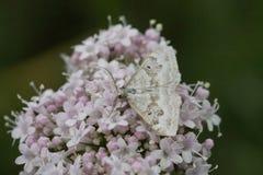 Farfalla bianca con apertura alare Immagine Stock Libera da Diritti