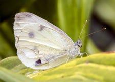 Farfalla bianca con il fronte del tipo di umana che si siede sulla foglia verde Fotografia Stock