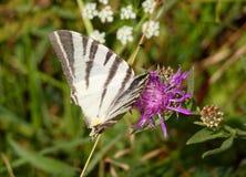 Farfalla bianca con le bande nere Immagini Stock