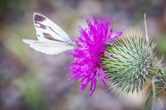 Farfalla bianca del Pieris sul cardo selvatico Fotografie Stock