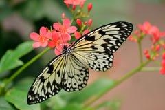Farfalla bianca della crisalide dell'albero Fotografia Stock Libera da Diritti