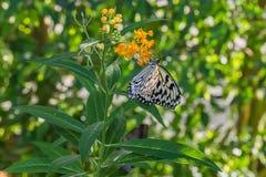 Farfalla bianca della crisalide dell'albero su una pianta fotografia stock