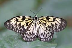 Farfalla bianca di Brown nel legno Fotografia Stock