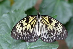 Farfalla bianca di Brown nel legno Immagini Stock Libere da Diritti