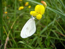 Farfalla bianca di legno Fotografie Stock