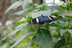 Farfalla bianca e nera blu Fotografie Stock