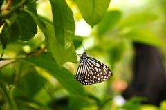 Farfalla bianca nera che si siede sulla foglia verde Fotografia Stock Libera da Diritti
