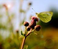 farfalla bianca Nero-venata Fotografia Stock