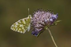Farfalla bianca pezzata occidentale sul fiore della vedova funerea Immagine Stock