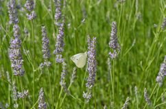 Farfalla bianca su lavanda Fotografie Stock Libere da Diritti