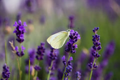 Farfalla bianca su lavanda di fioritura Immagine Stock Libera da Diritti