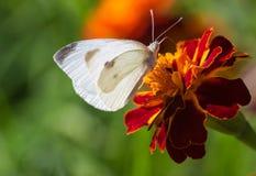 Farfalla bianca su un fiore Fotografia Stock Libera da Diritti