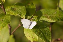 Farfalla bianca su una foglia verde dell'albero Immagine Stock