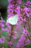 Farfalla bianca sui fiori dentellare fotografia stock libera da diritti
